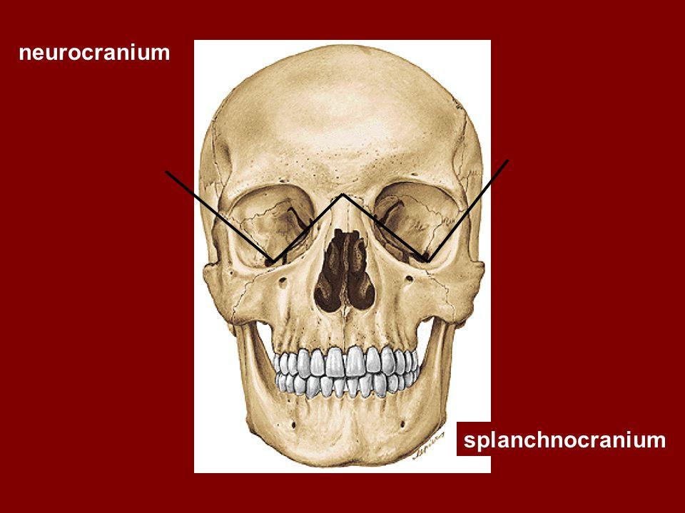 neurocranium splanchnocranium