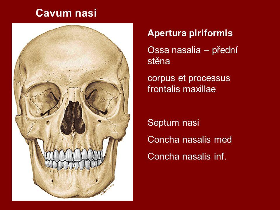 Cavum nasi Apertura piriformis Ossa nasalia – přední stěna corpus et processus frontalis maxillae Septum nasi Concha nasalis med Concha nasalis inf.