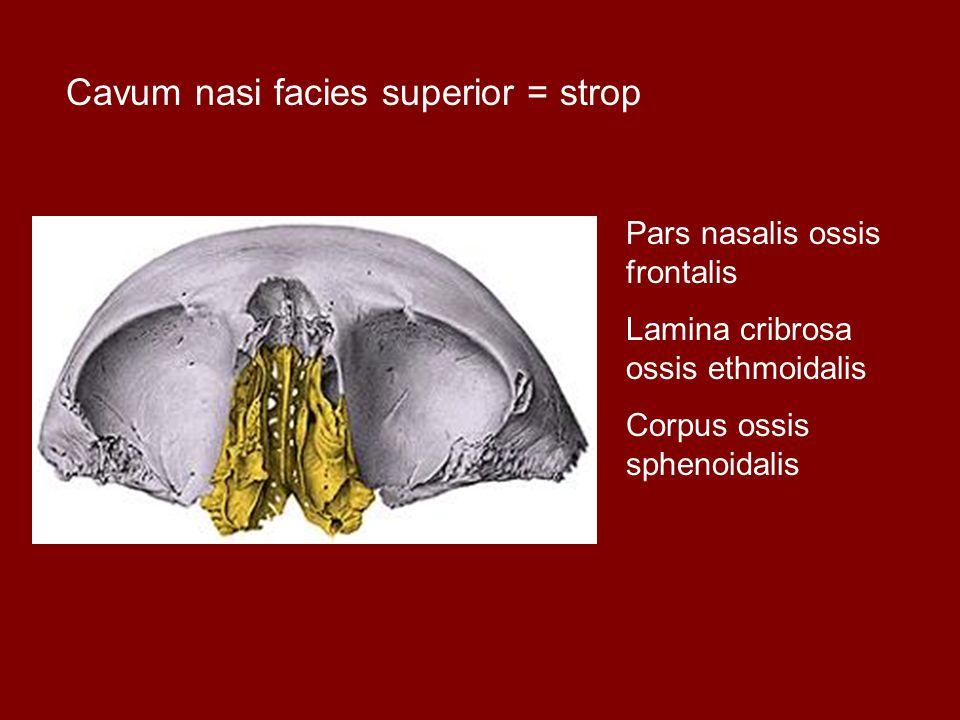 Cavum nasi facies superior = strop Pars nasalis ossis frontalis Lamina cribrosa ossis ethmoidalis Corpus ossis sphenoidalis