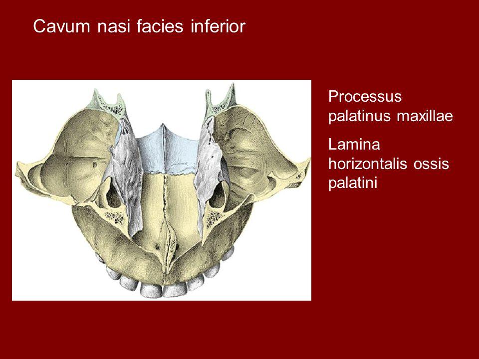 Cavum nasi facies inferior Processus palatinus maxillae Lamina horizontalis ossis palatini