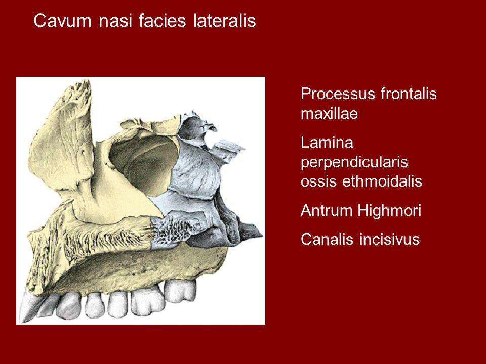 Cavum nasi facies lateralis Processus frontalis maxillae Lamina perpendicularis ossis ethmoidalis Antrum Highmori Canalis incisivus