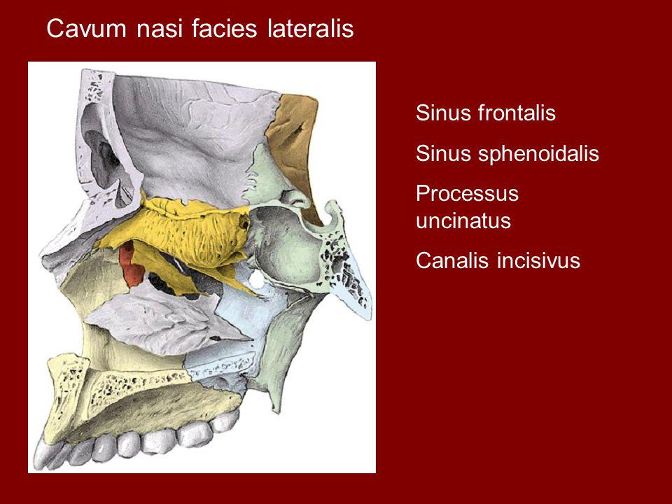 Cavum nasi facies lateralis Sinus frontalis Sinus sphenoidalis Processus uncinatus Canalis incisivus