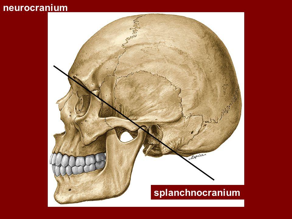 Dutina nosní - vztahy Nahoře: sinus frontalis, fossa cranii anterior Dole: cavum oris Laterálně: orbita, sinus maxillaris, fossa pterygopalatina
