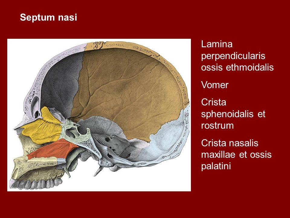 Septum nasi Lamina perpendicularis ossis ethmoidalis Vomer Crista sphenoidalis et rostrum Crista nasalis maxillae et ossis palatini