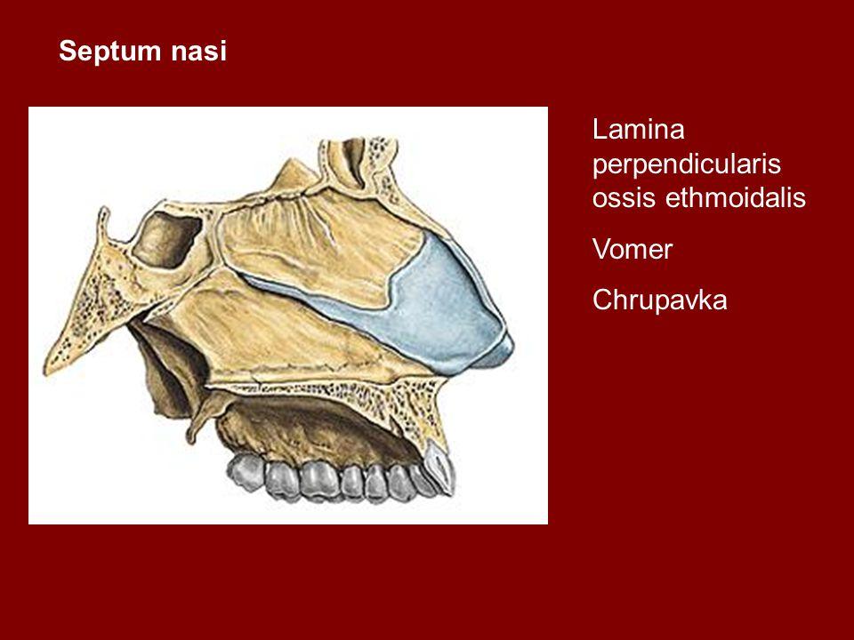 Septum nasi Lamina perpendicularis ossis ethmoidalis Vomer Chrupavka