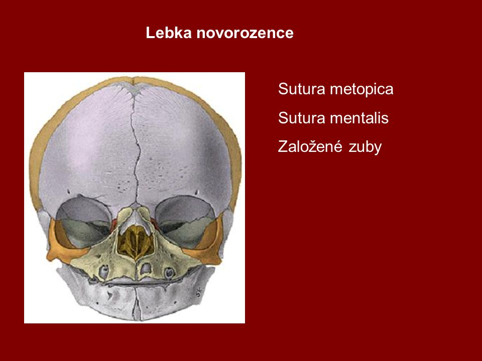 Lebka novorozence Sutura metopica Sutura mentalis Založené zuby