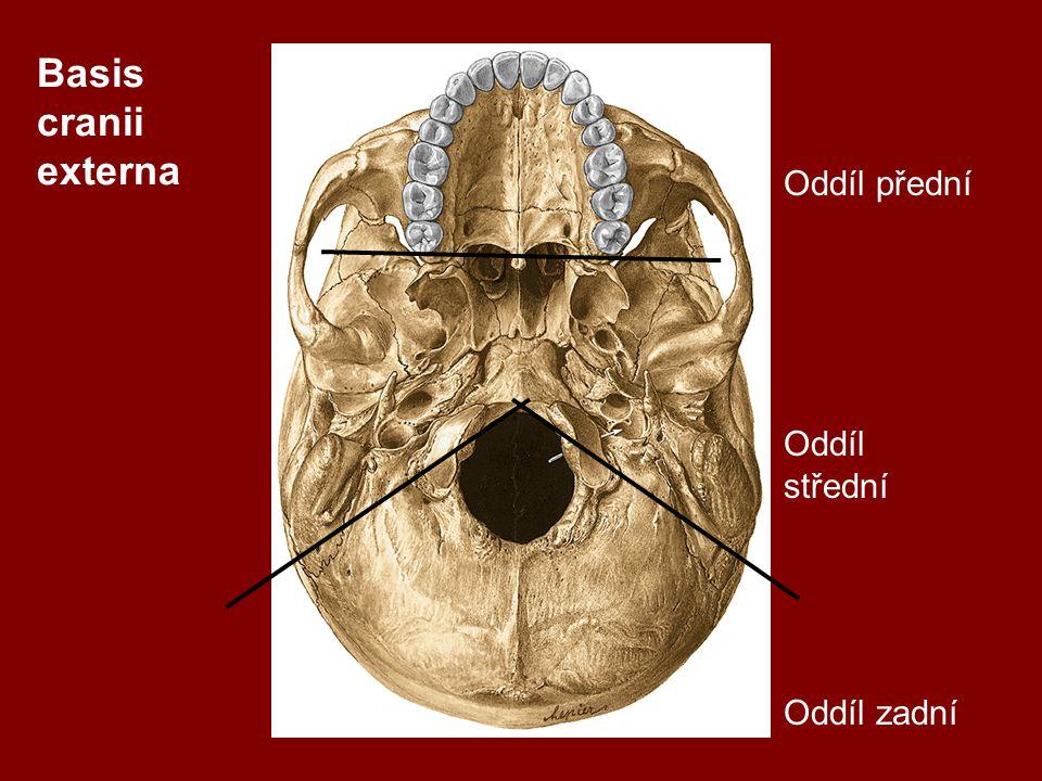 Basis cranii externa Oddíl přední Oddíl střední Oddíl zadní