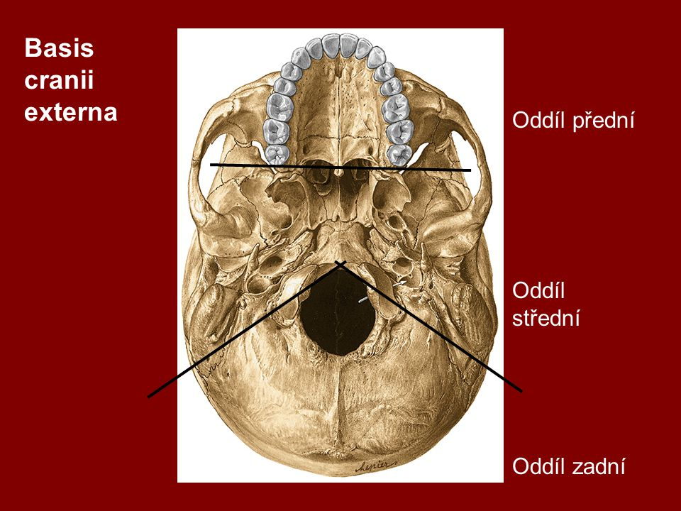 Přední úsek: Lamina cribrosa Pars nasalis a partes orbitales ossis frontalis Zadní úsek : Foramen magnum Canales condylares