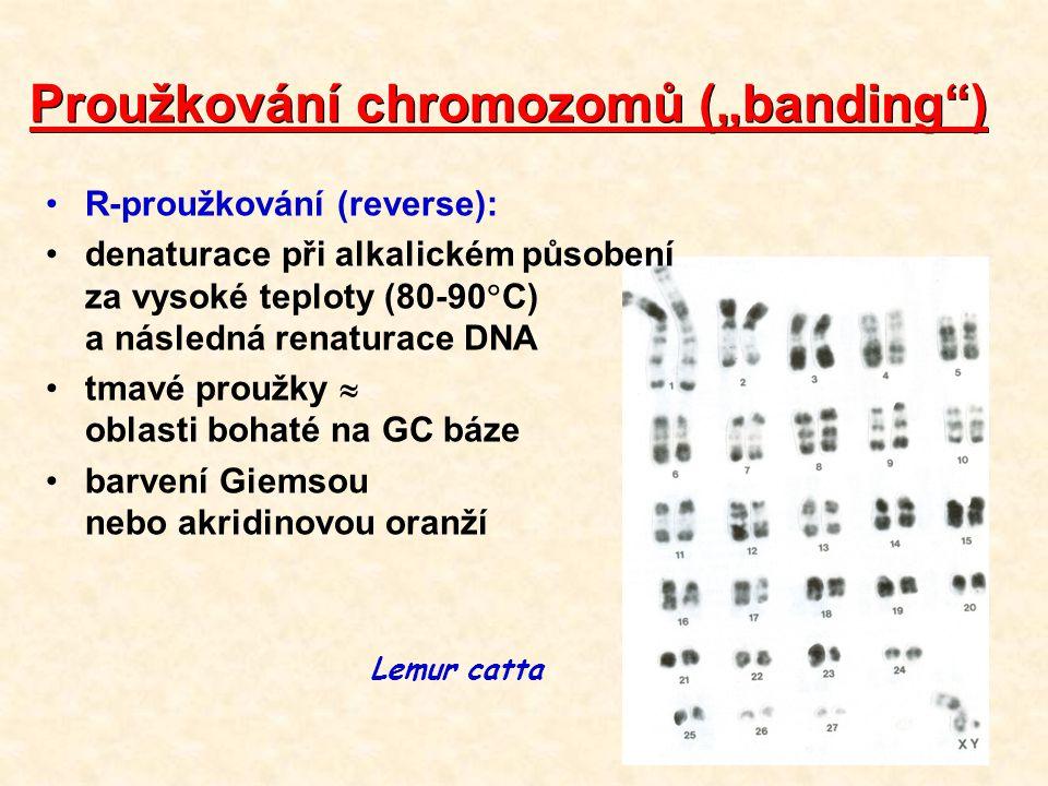 """Proužkování chromozomů (""""banding ) R-proužkování (reverse): denaturace při alkalickém působení za vysoké teploty (80-90  C) a následná renaturace DNA tmavé proužky  oblasti bohaté na GC báze barvení Giemsou nebo akridinovou oranží Lemur catta"""