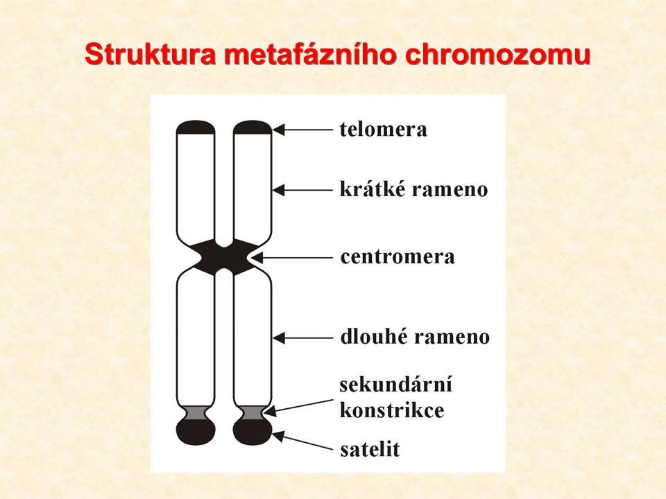 """Proužkování chromozomů (""""banding ) G-proužkování (Giemsa): účinek denaturačních činidel na stabilitu proteinových a nukleových složek chromatinu pozitivní (tmavé) proužky  oblasti (izochory) bohaté na AT báze působení trypsinu (chymotrypsin, NaOH) barvení Giemsou Fukomys mechowi"""