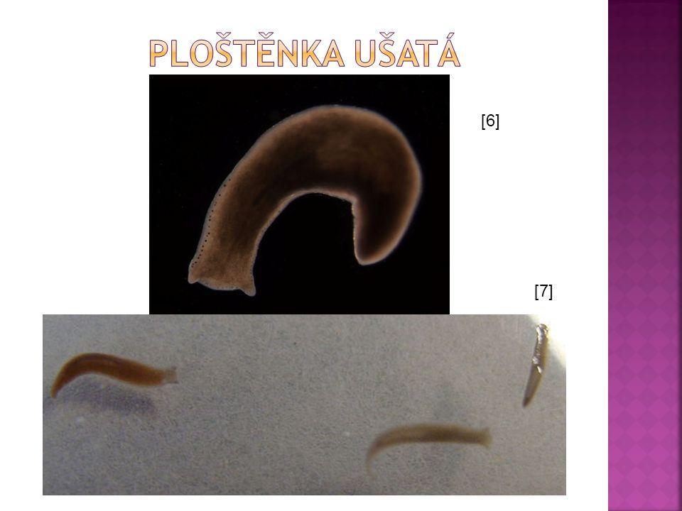  Ploštěnky žijí hlavně ve sladké vodě.  Mají velkou regenerační schopnost.  Zástupci: ploštěnka mléčná, potoční, kalužní, horská, ušatá, skleníková