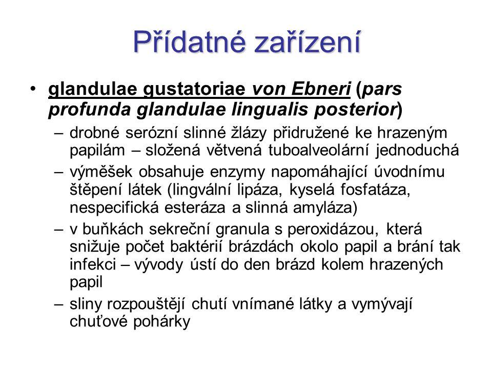 Přídatné zařízení glandulae gustatoriae von Ebneri (pars profunda glandulae lingualis posterior) –drobné serózní slinné žlázy přidružené ke hrazeným p