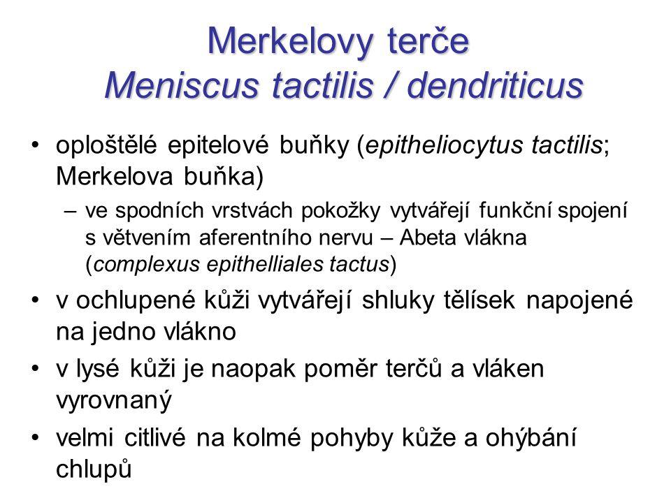 Merkelovy terče Meniscus tactilis / dendriticus oploštělé epitelové buňky (epitheliocytus tactilis; Merkelova buňka) –ve spodních vrstvách pokožky vyt