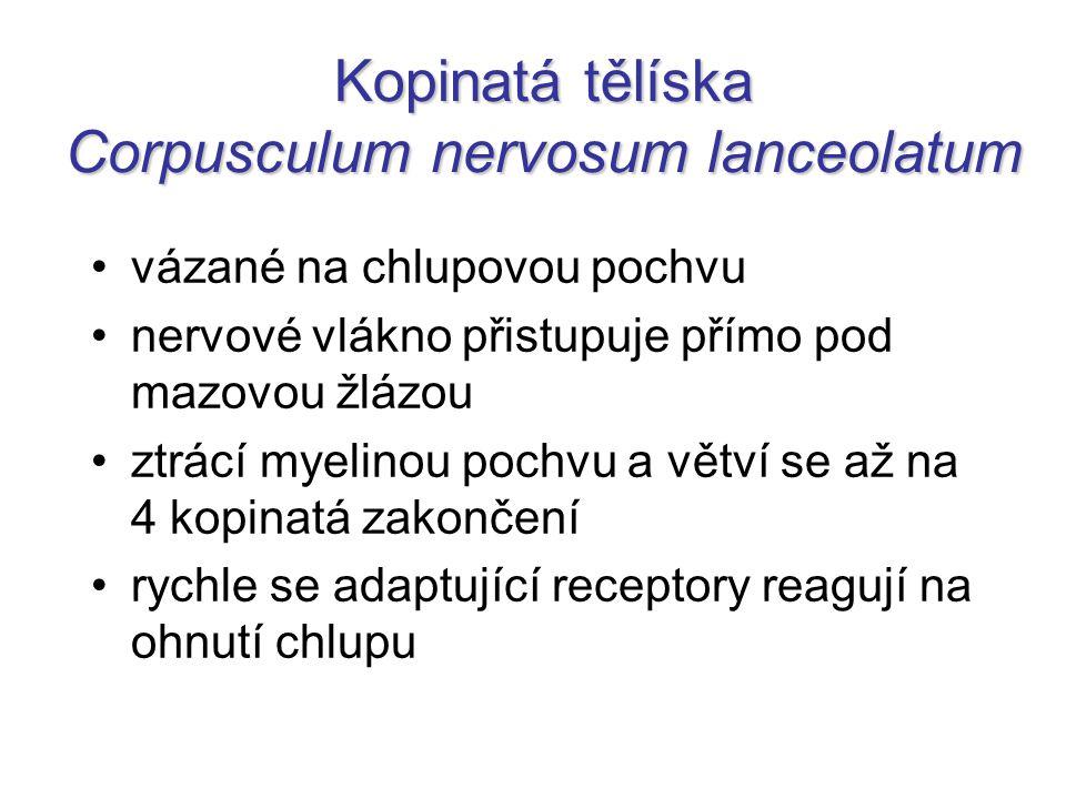 Kopinatá tělíska Corpusculum nervosum lanceolatum vázané na chlupovou pochvu nervové vlákno přistupuje přímo pod mazovou žlázou ztrácí myelinou pochvu