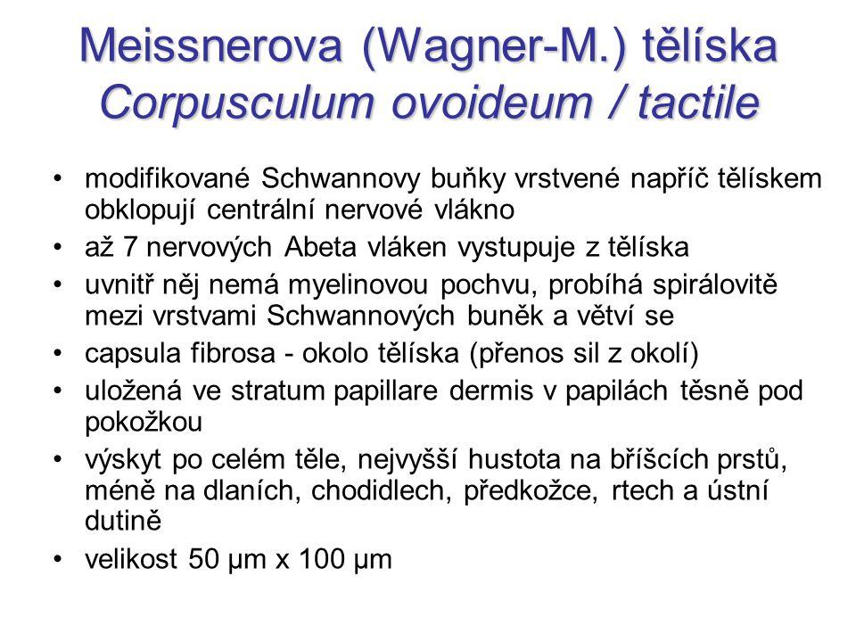 Meissnerova (Wagner-M.) tělíska Corpusculum ovoideum / tactile modifikované Schwannovy buňky vrstvené napříč tělískem obklopují centrální nervové vlák
