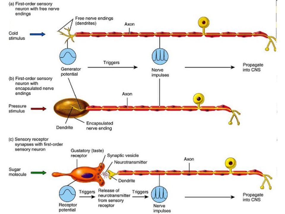 Sekundární receptory Sluch –vláskové buňky blanitého hlemýždě vnitřního ucha Rovnováha –vláskové buňky blanitého labyrintu vnitřního ucha Chuť –chuťové buňky chuťových pohárků jazykových papil a patra