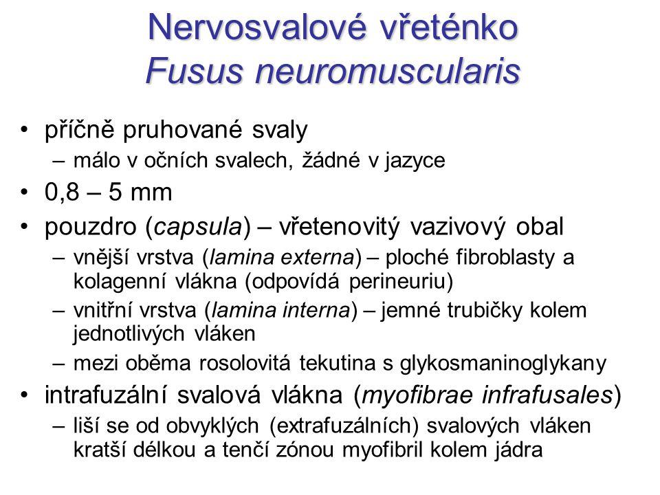 Nervosvalové vřeténko Fusus neuromuscularis příčně pruhované svaly –málo v očních svalech, žádné v jazyce 0,8 – 5 mm pouzdro (capsula) – vřetenovitý v