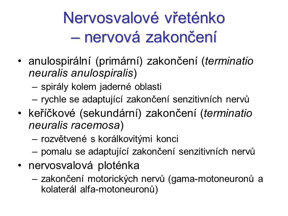Nervosvalové vřeténko – nervová zakončení anulospirální (primární) zakončení (terminatio neuralis anulospiralis) –spirály kolem jaderné oblasti –rychl