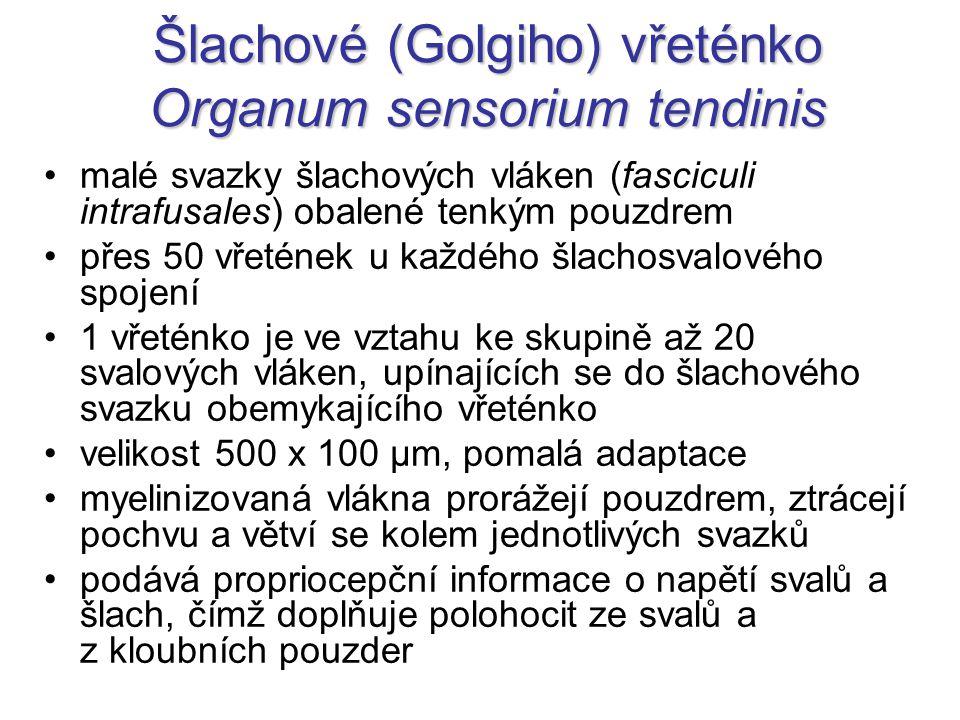 Šlachové (Golgiho) vřeténko Organum sensorium tendinis malé svazky šlachových vláken (fasciculi intrafusales) obalené tenkým pouzdrem přes 50 vřetének