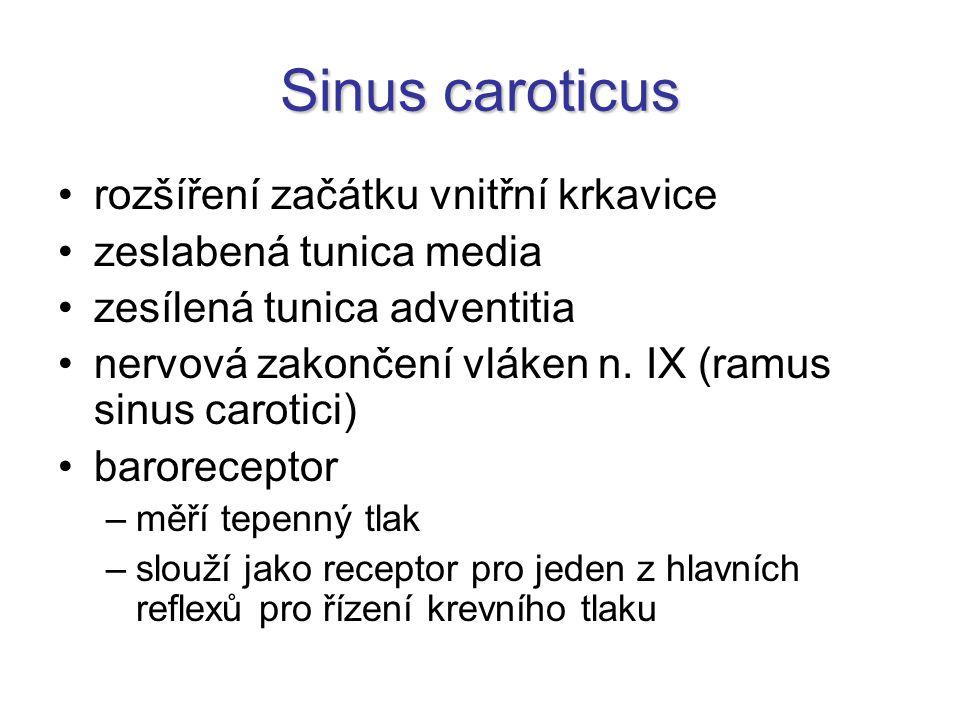 Sinus caroticus rozšíření začátku vnitřní krkavice zeslabená tunica media zesílená tunica adventitia nervová zakončení vláken n. IX (ramus sinus carot