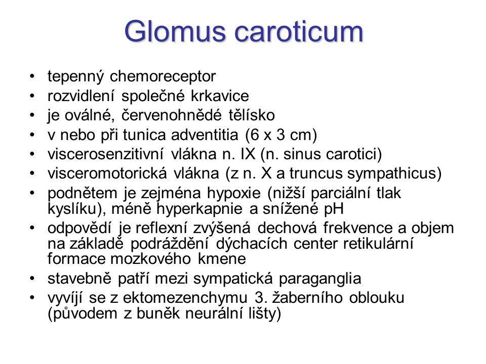 Glomus caroticum tepenný chemoreceptor rozvidlení společné krkavice je oválné, červenohnědé tělísko v nebo při tunica adventitia (6 x 3 cm) viscerosen