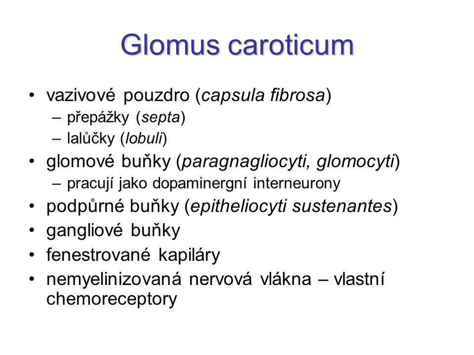 Glomus caroticum vazivové pouzdro (capsula fibrosa) –přepážky (septa) –lalůčky (lobuli) glomové buňky (paragnagliocyti, glomocyti) –pracují jako dopam