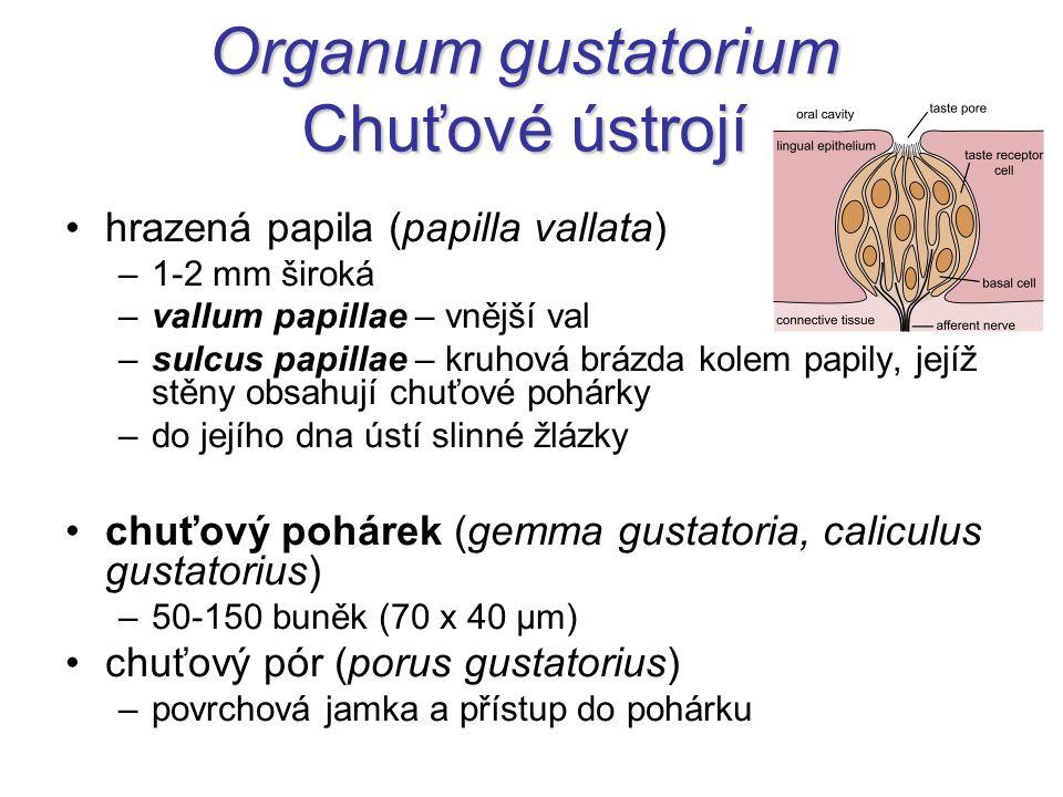 Organum gustatorium Chuťové ústrojí hrazená papila (papilla vallata) –1-2 mm široká –vallum papillae – vnější val –sulcus papillae – kruhová brázda ko