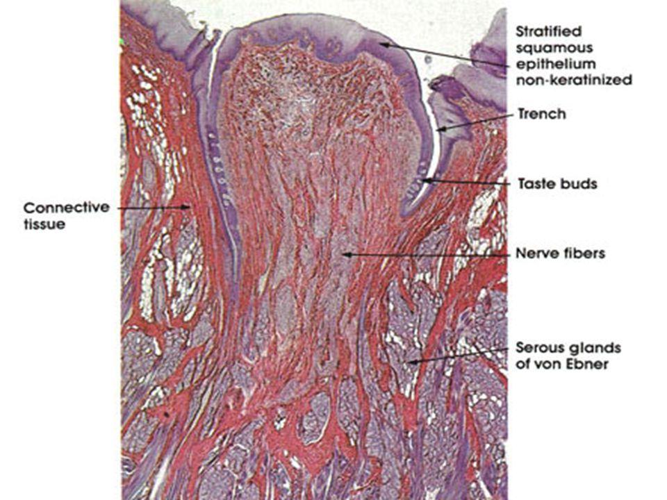 Meissnerova (Wagner-M.) tělíska Corpusculum ovoideum / tactile modifikované Schwannovy buňky vrstvené napříč tělískem obklopují centrální nervové vlákno až 7 nervových Abeta vláken vystupuje z tělíska uvnitř něj nemá myelinovou pochvu, probíhá spirálovitě mezi vrstvami Schwannových buněk a větví se capsula fibrosa - okolo tělíska (přenos sil z okolí) uložená ve stratum papillare dermis v papilách těsně pod pokožkou výskyt po celém těle, nejvyšší hustota na bříšcích prstů, méně na dlaních, chodidlech, předkožce, rtech a ústní dutině velikost 50 μm x 100 μm