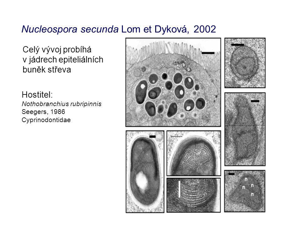 Nucleospora secunda Lom et Dyková, 2002 Celý vývoj probíhá v jádrech epiteliálních buněk střeva Hostitel: Nothobranchius rubripinnis Seegers, 1986 Cyprinodontidae