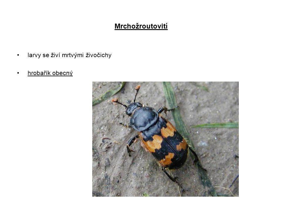 Mrchožroutovití larvy se živí mrtvými živočichy hrobařík obecný