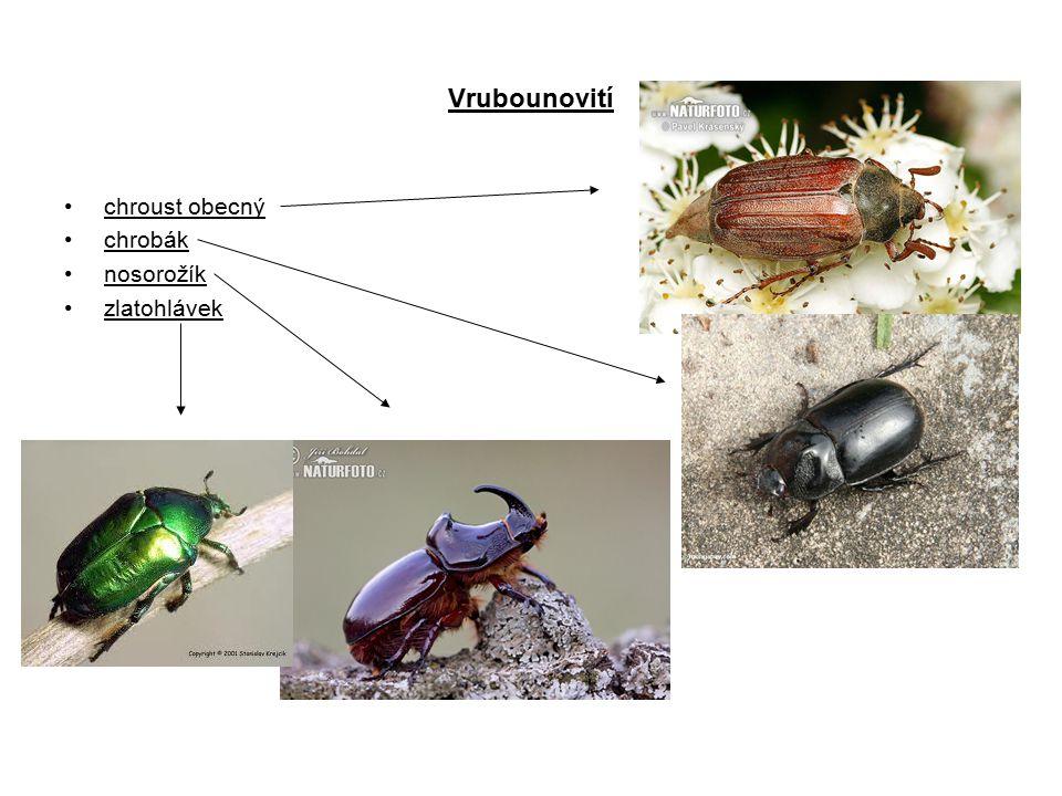 Vrubounovití chroust obecný chrobák nosorožík zlatohlávek