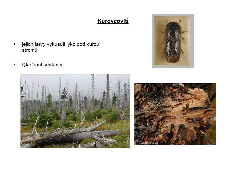 Kůrovcovití jejich larvy vykusují lýko pod kůrou stromů lýkožrout smrkový