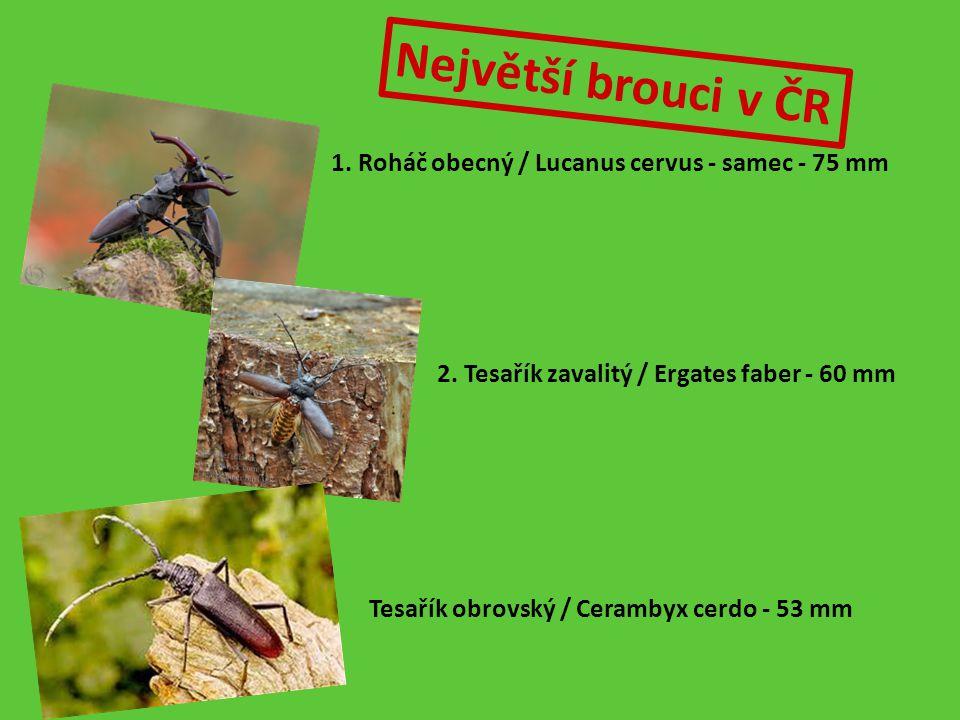 Hrobařík obecný - Necrophorus vespilloides.