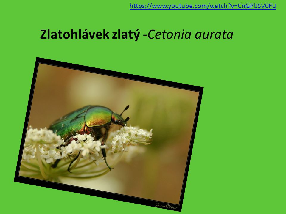 Zlatohlávek zlatý -Cetonia aurata https://www.youtube.com/watch?v=CnGPlJSV0FU