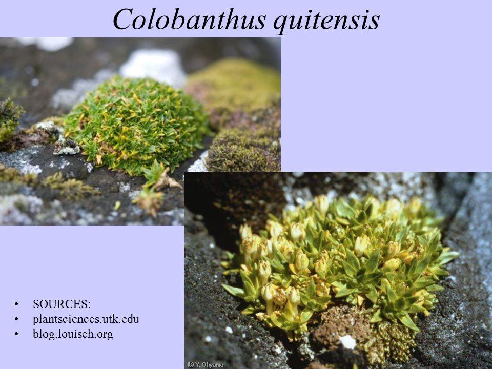Colobanthus quitensis SOURCES: plantsciences.utk.edu blog.louiseh.org