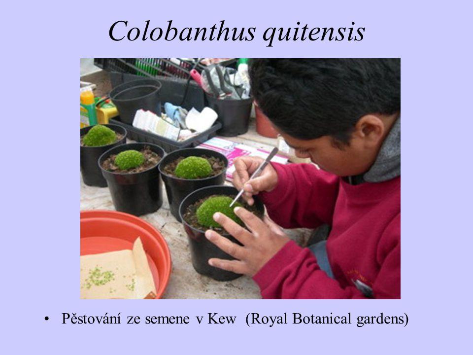 Colobanthus quitensis Pěstování ze semene v Kew (Royal Botanical gardens)