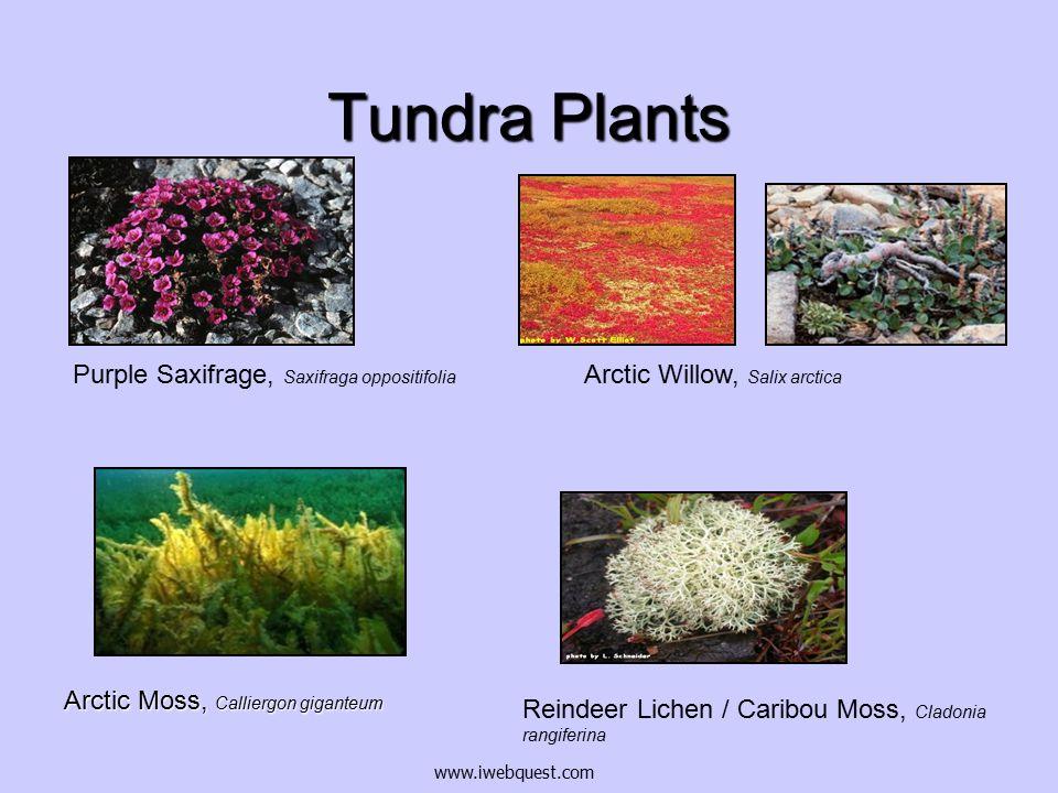Tundra Plants Arctic Moss, Calliergon giganteum Arctic Willow, Salix arctica Reindeer Lichen / Caribou Moss, Cladonia rangiferina Purple Saxifrage, Saxifraga oppositifolia www.iwebquest.com