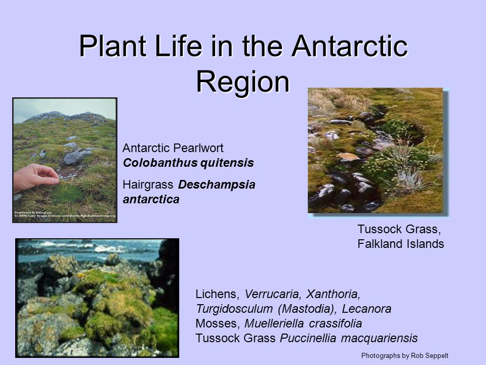 Regionální floristika Grónsko: ca 400 druhů, na suchých místech Empetrum hermaphrodicum, Vaccinium uliginosum subsp.