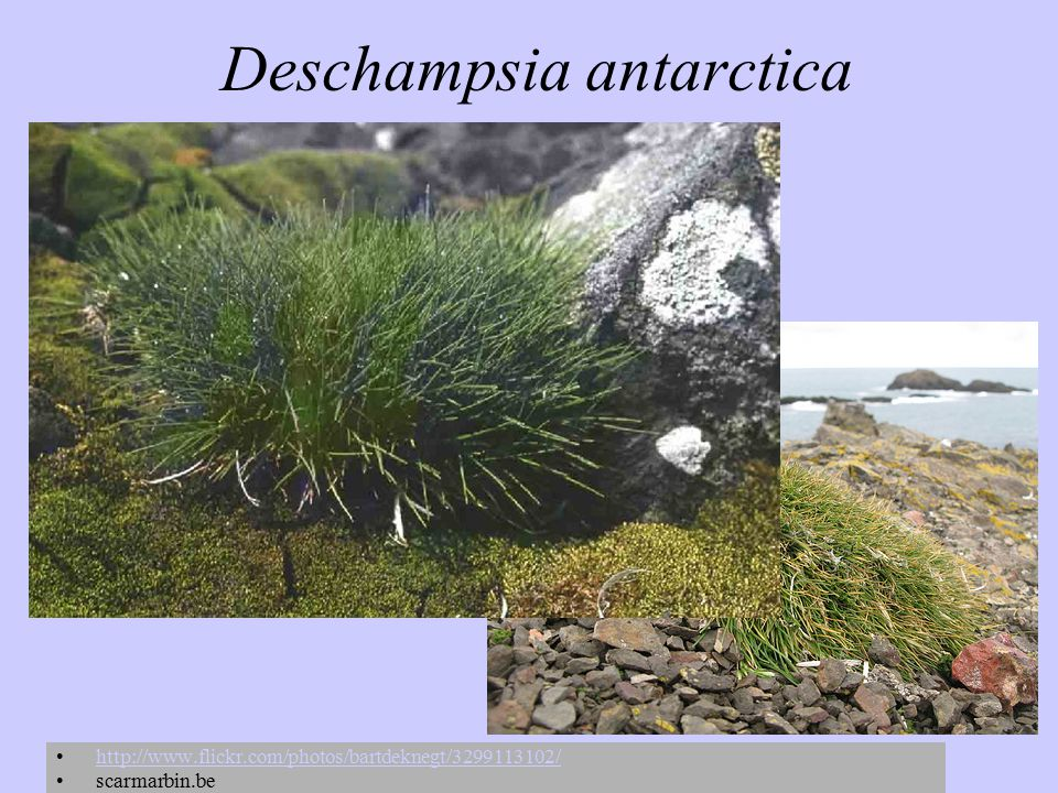 Deschampsia antarctica http://www.flickr.com/photos/bartdeknegt/3299113102/ scarmarbin.be