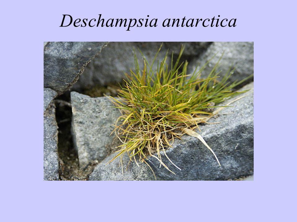 Deschampsia antarctica