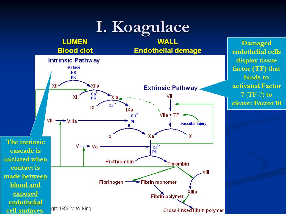 I. Koagulace LUMEN Blood clot WALL Endothelial demage Damaged endothelial cells display tissue factor (TF) that binds to activated Factor 7 (TF-7) to