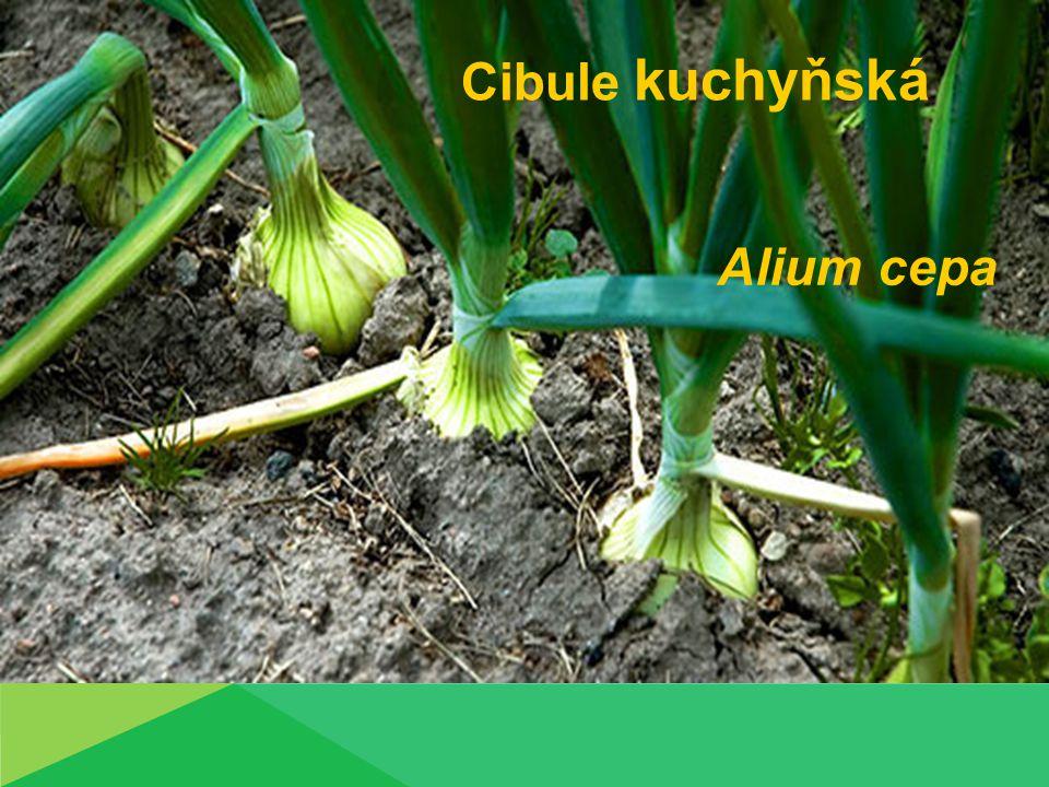 Cibulová zelenina Cibule kuchyňská (Allium cepa L.)  Dvouletá rostlina  Vegetační doba 130-160 dnů  První rok-cibule  Listy trubkovité, voskově ojíněné  Cibule různý tvar  Druhý rok  Z cibule vyrůstá květní stvol s okolíkem  Bílé květy  Plod-tobolka  Semeno černé hranaté