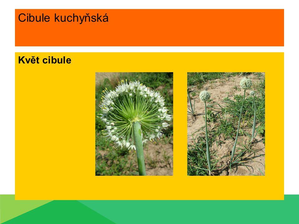 Cibule kuchyňská Ošetřování během vegetace Meziřádková kultivace Aplikace přípravků proti plísni Přihnojení