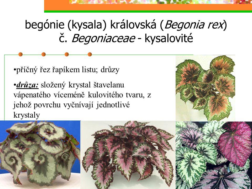 begónie (kysala) královská (Begonia rex) č. Begoniaceae - kysalovité příčný řez řapíkem listu; drůzy drůza: složený krystal štavelanu vápenatého vícem
