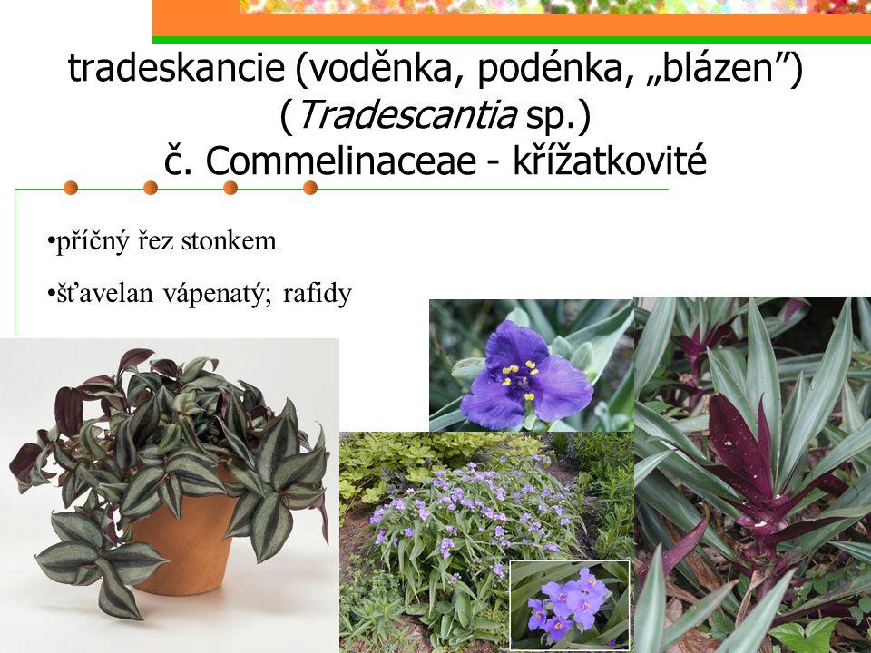 """tradeskancie (voděnka, podénka, """"blázen"""") (Tradescantia sp.) č. Commelinaceae - křížatkovité příčný řez stonkem šťavelan vápenatý; rafidy"""