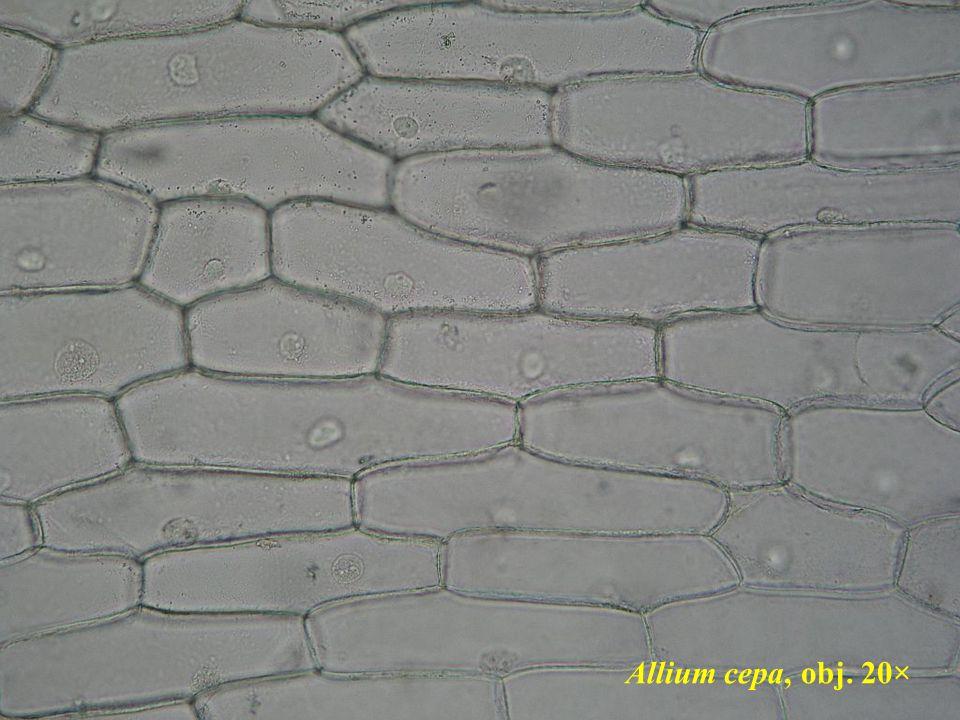 Allium cepa, obj. 20×