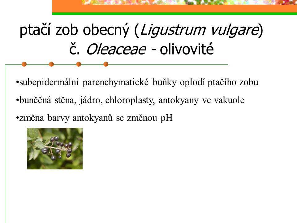 Seznam použitých rostlinných druhů ptačí zob obecný (Ligustrum vulgare); subepidermální parenchymatické buňky oplodí; BS, chloroplasty, jádro pámelník bílý (Symphoricarpos albus); subepidermální parenchymatické buňky oplodí; BS, leukoplasty, jádro měřík příbuzný (Mnium affine); lístek; BS, chloroplasty růže šípková (Rosa canina); subepidermální parenchymatické buňky oplodí; BS, chromoplasty, drůzy česnek cibule (Allium cepa); epidermální buňky zevních suknic; styloidy begonie královská (Begonia rex); příčný řez řapíkem listu; drůzy voděnka (Tradescantia sp.); příčný řez stonkem; rafidy