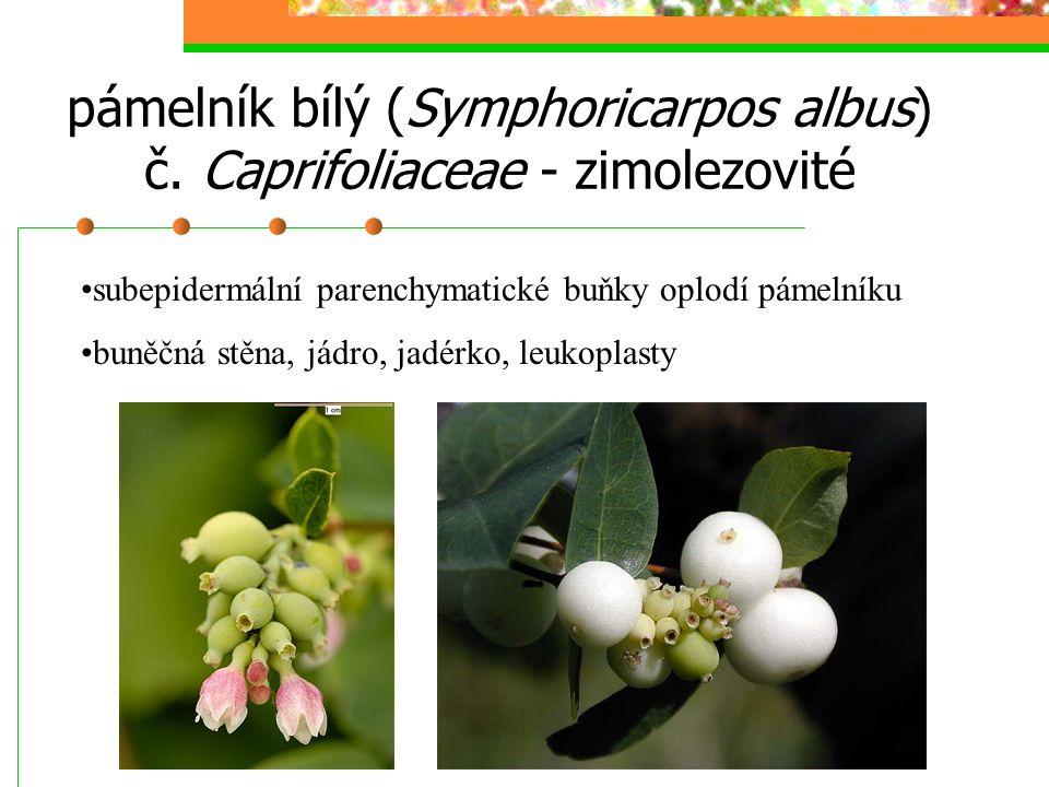pámelník bílý (Symphoricarpos albus) č. Caprifoliaceae - zimolezovité subepidermální parenchymatické buňky oplodí pámelníku buněčná stěna, jádro, jadé