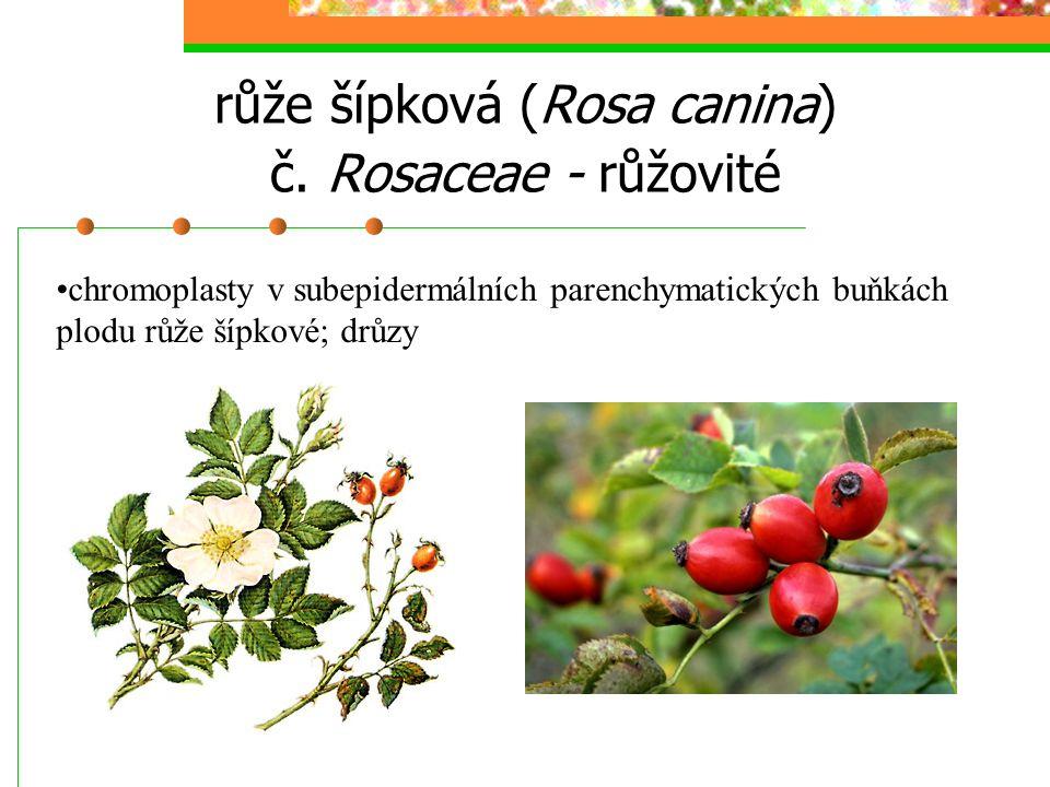 růže šípková (Rosa canina) č. Rosaceae - růžovité chromoplasty v subepidermálních parenchymatických buňkách plodu růže šípkové; drůzy