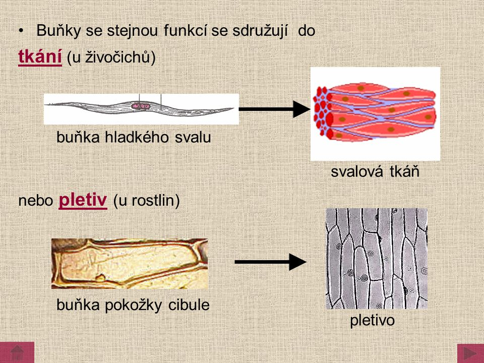 Buňky se stejnou funkcí se sdružují do tkání (u živočichů) nebo pletiv (u rostlin) svalová tkáň buňka hladkého svalu pletivo buňka pokožky cibule